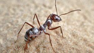 Fakta om myrer