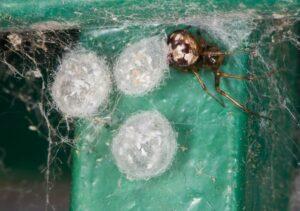 Edderkoppens æg