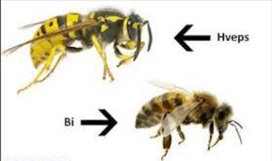 Hveps eller bi?